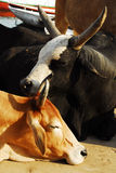 Liebevolle Kühe Lizenzfreies Stockbild