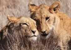 Liebevolle Löwen Lizenzfreie Stockfotos