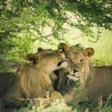 Liebevolle Paare des Löwes und der Löwin Lizenzfreies Stockfoto
