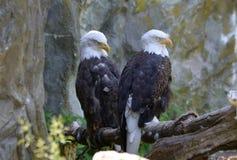 Liebevolle Paare von schlafendem Eagles unter einer Felsen-Klippe Lizenzfreie Stockfotos