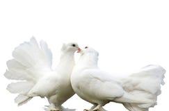 Liebevolle Tauben Stockfotos