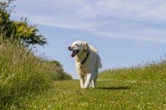Liebevolles Leben des Retrieverschoßhunds auf Weg Stockbild