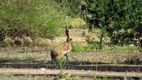 Liebre iberica野兔 图库摄影
