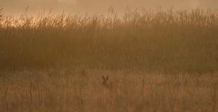 Liebres de Brown en la alta madrugada de la hierba fotos de archivo libres de regalías