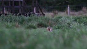 Liebres de Brown, europaeus del Lepus, sentada, ocultando en hierba larga en verano, junio en una cañada en el parque nacional de almacen de video