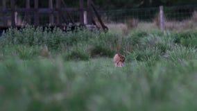 Liebres de Brown, europaeus del Lepus, sentada, ocultando en hierba larga en verano, junio en una cañada en el parque nacional de metrajes