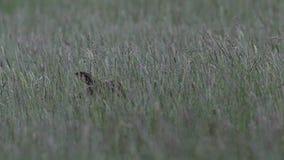 Liebres de Brown, europaeus del Lepus, sentada, ocultando en hierba larga en verano, junio en una cañada en el parque nacional de almacen de metraje de vídeo