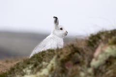Liebres de la montaña con el abrigo de invierno en la mezcla de nieve y de tierra desnuda Imagen de archivo