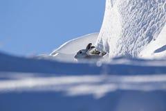 Liebres de la montaña con el abrigo de invierno en la mezcla de nieve y de tierra desnuda Imágenes de archivo libres de regalías