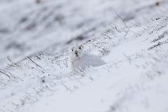 Liebres de la montaña con el abrigo de invierno en la mezcla de nieve y de tierra desnuda Imagenes de archivo