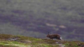 2 liebres de la montaña, timidus del Lepus, corriendo y alimentando en julio en una cuesta, cuarzo ahumado NP, Escocia almacen de video