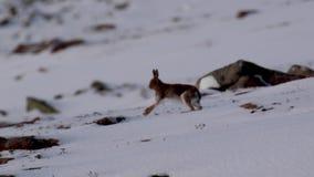 Liebres de la montaña, timidus del Lepus, durante octubre en la nieve con la capa del verano que corre a lo largo de una cuesta e almacen de video