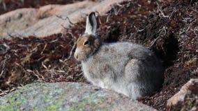 Liebres de la montaña, timidus del Lepus, presentación, sentándose en un día soleado durante la primavera en el parque nacional d almacen de video