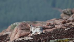 Liebres de la montaña, timidus del Lepus, presentación, sentándose en un día soleado durante la primavera en el parque nacional d almacen de metraje de vídeo