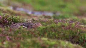 Liebres de la montaña, timidus del Lepus, reclinación, ocultando entre el brezo púrpura del verano en una cuesta en el cuarzo ahu almacen de metraje de vídeo