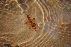 Liebres de mar Imagen de archivo libre de regalías
