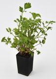 Liebstöckel-frische Blätter Stockbild