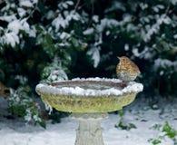 Lied-Drossel auf Vogelbad im Schnee Stockfotos