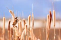Lied-Spatz im Sumpf Stockbilder