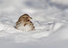 Liedspatz im Schnee Stockbild