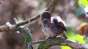 Liedvogel, der sein Selbst pflegt, während Sie mit Rücklicht während des Herbstes gehockt werden stock video
