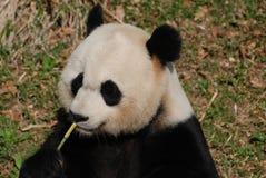 Lief Panda Bear Eating Green Bamboo terwijl omhoog het Zitten stock afbeeldingen