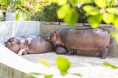Liefde in een familie van hippos Stock Foto's