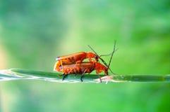 Liefde - insecten het copulating Stock Afbeelding