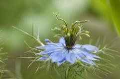 Liefde-in-a-mist bloem Royalty-vrije Stock Afbeelding