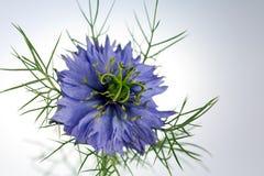 Liefde-in-a-mist bloem (damascena Nigella) Stock Afbeeldingen