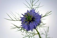 Liefde-in-a-mist bloem (damascena Nigella) Royalty-vrije Stock Foto's