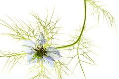 Liefde-in-a-mist (damascena Nigella) Stock Foto's
