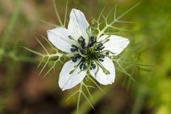 Liefde-in-a-mist (Nigella-damascena) bloem Stock Afbeeldingen