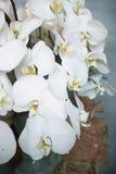 Liefde van het ontwerpbloemen van de Phalaenopsis de bloemenkunst royalty-vrije stock foto