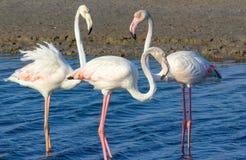 Liefdedriehoek van roze flamingo's in de overzeese lagune royalty-vrije stock afbeeldingen