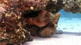 Liefdepaar van het vermomde Octopus verbergen in koraal onderwater Rode overzees stock video