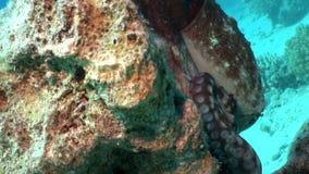 Liefdepaar van vermomde Octopus onderwater Rode overzees stock video