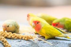 Liefdevogel stock afbeeldingen