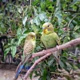 Liefdevogel Royalty-vrije Stock Foto's