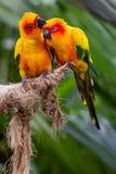 Liefdevogels Stock Afbeelding