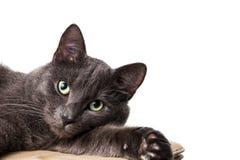 Liegende russische blaue Katze Stockfoto