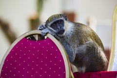 Liegender Affe sein Kopf auf seinen Händen Stockbild