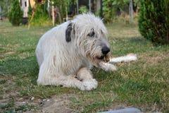 Liegender Hund des irischen Wolfshunds isst Knochen auf dem Gras Der Hund zerfrisst einen Knochen im Garten auf dem Rasen Stockfotografie