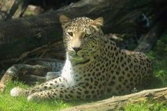 Liegender persischer Leopard Stockfotos