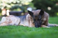 Liegender schöner junger Schäferhund Dog Close Up Browns lizenzfreie stockfotografie
