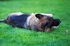 Liegender schöner junger Schäferhund Dog Close Up Browns stockbild