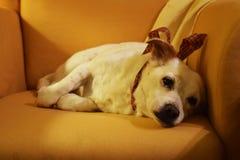 Liegender trauriger Hund auf dem Lehnsessel Stockbild