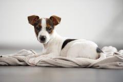 Liegender und aufpassender Jack Russell Terrier-Welpe. Stockfoto