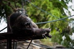 liegender und schlafender Schimpanseaffe Stockfoto
