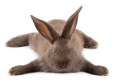 Liegendes braunes Kaninchen Stockbild